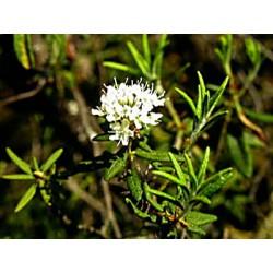 Huile essentielle LEDON - ledum groenlandicum