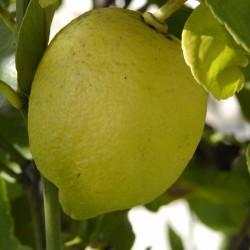 Huile essentielle de Citron ECOCERTIFIABLE - Citrus limonum