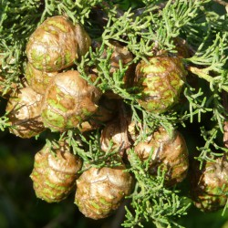 Huiles essentielle de Cyprès ECOCERTIFIABLE - Cupressus sempervirens