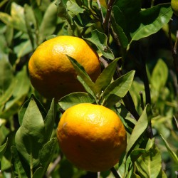 Huile essentielle de Mandarine rouge ECOCERTIFIABLE - citrus reticulata Blanco