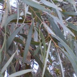 EUCALYPTUS A CRYPTONE ECOCERTIFIABLE - eucalyptus polybractea