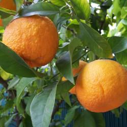 Huile essentielle PETIT GRAIN BIGARADE ECOCERTIFIABLE - citrus aurantium ssp aurantium
