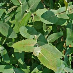 Huile essentielle d'EUCALYPTUS GLOBULUS ECOCERTIFIABLE - eucalyptus globulus