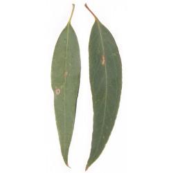 Huile essentielle EUCALYPTUS RADIE ECOCERTIFIABLE - eucalyptus radiata