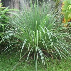 CITRONNELLE DE JAVA - cymbopogon winterianus