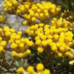 IMMORTELLE OU HELICHRYSE ITALIENNE - helichrysum italicum