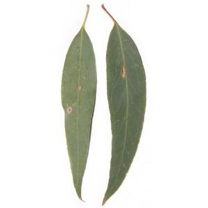 Huile-essentielle-EUCALYPTUS-RADIE-A-CINEOLE-eucalyptus-radiata