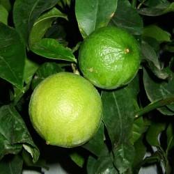 Huile essentielle Bergamote - citrus bergamia