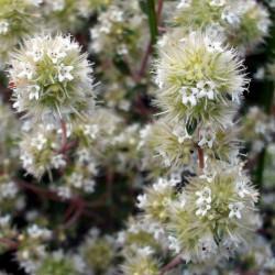 MARJOLAINE A COQUILLES - origanum marjorana