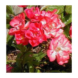 Rose Musquée - Rosa rubiginosa