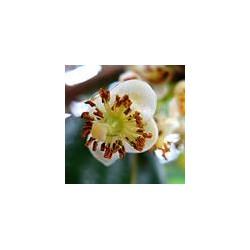 Calophylle BIO - Calophyllum inophyllum
