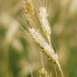 Germe de blé - Triticum vulgare