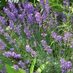 LAVANDE VRAIE HTE PROVENCE BIOLOGIQUE-lavandula angustifolia