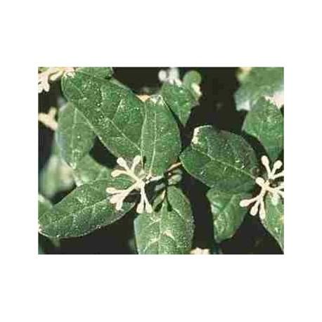 BOLDO - Boldea fragrans