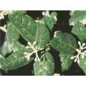 Huile essentielle BOLDO - boldea fragrans