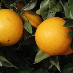 Huile essentielle ORANGE DOUCE ECOCERTIFIABLE - citrus sinensis ou citrus aurantium dulcis