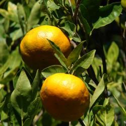 Huile essentielle MANDARINE ROUGE ECOCERTIFIABLE - citrus reticulata Blanco