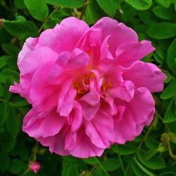 Huile essentielle ROSE DE DAMAS ECOCERTIFIABLE - rosa damascena