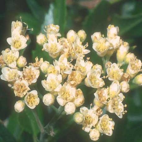 Huile essentielle de Bois de Rose ECOCERTIFIABLE - aniba rosaeodora
