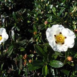 Huile essentielle CISTE LADANIFERE - cistus ladaniferus