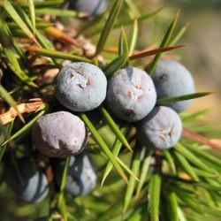 Huile essentielle de Genièvre baie - juniperus communis