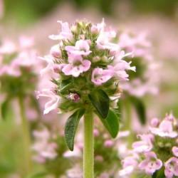 Huile essentielle THYM a linalol - thymus vulgaris linaloliferum