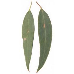 Flacon huile essentielle Eucalyptus radie 30 ml