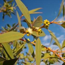 Huile essentielle Eucalyptus mentholé - eucalyptus dives