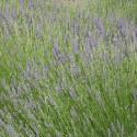 Huile essentielle LAVANDE ASPIC FINE - lavandula latifolia