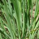 Huile essentielle LEMONGRASS - cymbopogon flexuosus ou citratus
