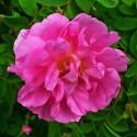 Huile essentielle ROSE DE DAMAS - rosa damascena