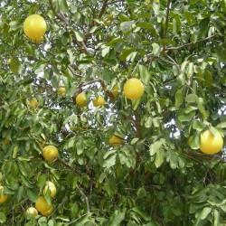 Huile essentielle PAMPLEMOUSSE - citrus paradisii