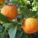 Huile essentielle PETIT GRAIN BIGARADE - citrus aurantium ssp aurantium