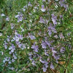 Huile essentielle ROMARIN OFFICINAL A CINEOLE - rosmarinus officinalis cineoliferum