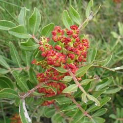 Huile essentielle LENTISQUE PISTACHIER-pistacia lentiscus