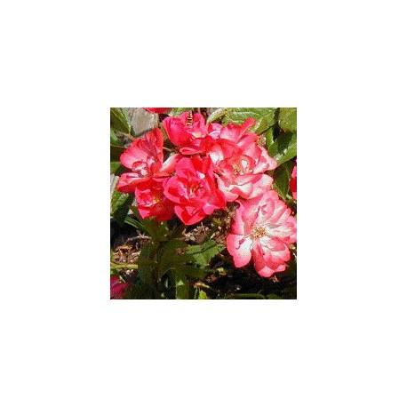 Rose Musquée biologique - Rosa rubiginosa