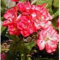 Huile végétale Rose Musquée - Rosa rubiginosa