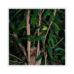 Huile essentielle de SARO - cinnamosma fragrans