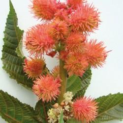 Huile végétale Ricin vierge - Ricinus communis