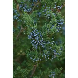 Huile essentielle CEDRE DE VIRGINIE - juniperus virginiana
