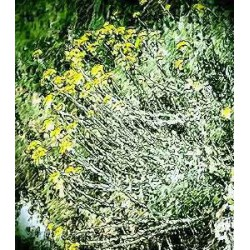 Huile essentielle HELICHRYSE A CAPITULES NUS ECOCERTIFIABLE - helichrysum gymnocephalum