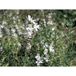 Huile essentielle SARRIETTE DES MONTAGNES - satureja montana