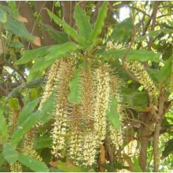 Huile végétale Macadamia - Macadamia integrifolia