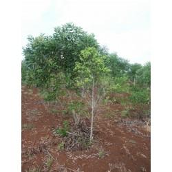 Huile essentielle SANTAL SAUVAGE - santalum austrocaledonicum