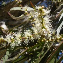 CAJEPUT - melaleuca leucadendron