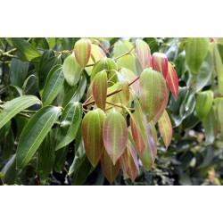 CANNELLE DE CEYLAN - cinnamomum verum