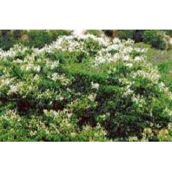 COPAHU - copaifera officinalis